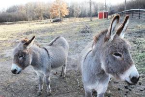 Magnificent miniature donkeys | CITYVIEW